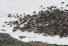牧群驯鹿 免版税库存图片