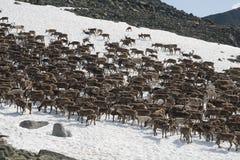 牧群驯鹿 免版税图库摄影