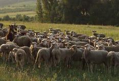 牧群 免版税库存图片