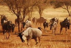 牧群np坦桑尼亚tarangire角马 库存图片