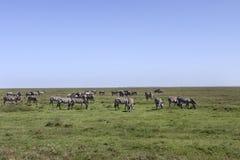 牧群serengeti斑马 库存照片