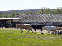 牲口自然 库存图片