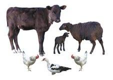 牲口被隔绝在白的小牛,绵羊,羊羔,鸡, d 免版税图库摄影