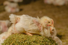 牲口-禽畜-烤焙用具 免版税库存图片