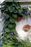 牵牛花在庭院里 库存图片