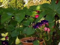 牵牛花花、桃红色大竺葵和蓖麻籽植物 免版税库存照片