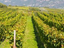 特伦托自治省女低音阿迪杰的葡萄园的风景在意大利 酒路线 免版税库存图片