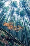 特兰西瓦尼亚的有雾的森林 库存图片
