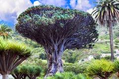 特内里费岛-著名龙血树地标在Icod de los Vinos, 免版税库存照片