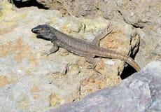 特内里费岛自然-接近的观点的蜥蜴 图库摄影