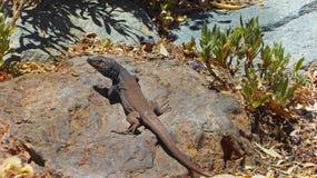 特内里费岛自然-接近的观点的蜥蜴 库存照片