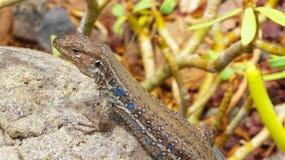 特内里费岛自然-接近的观点的蜥蜴 免版税库存图片