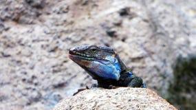 特内里费岛自然-接近的观点的蜥蜴 库存图片