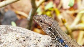 特内里费岛自然-接近的观点的蜥蜴 免版税库存照片