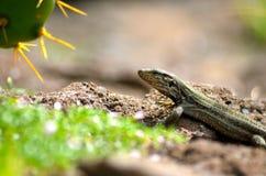 特内里费岛蜥蜴 免版税库存图片
