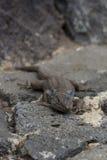 特内里费岛蜥蜴 库存照片
