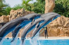 特内里费岛,西班牙- 2013年12月16日:显示与海豚在p 免版税库存照片