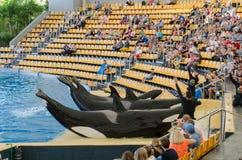 特内里费岛,西班牙- 2015年11月19日:Orcan海洋展示(Loro公园 免版税库存图片