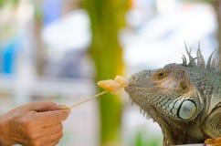 特写镜头一只大蜥蜴爬行动物鬣鳞蜥的照片画象 库存图片