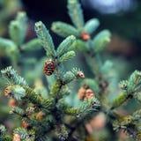 特写镜头与锥体的冷杉分支,冬天 圣诞节,新年快乐 自然本底,时髦绿色Pantone 免版税库存照片
