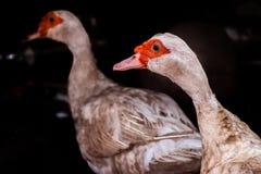 特写镜头两母亲鸭子 免版税库存照片