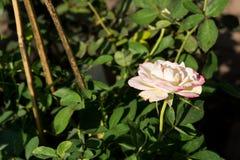 特写镜头五颜六色的玫瑰在树,甜爱概念,拉丁文的概念,宏观图象开花 图库摄影