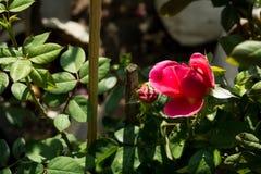 特写镜头五颜六色的玫瑰在树,甜爱概念,拉丁文的概念,宏观图象开花 库存图片