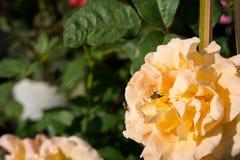 特写镜头五颜六色的玫瑰在树,甜爱概念,拉丁文的概念,宏观图象开花 免版税图库摄影