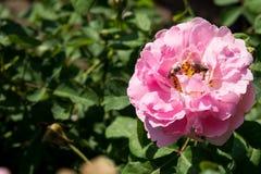 特写镜头五颜六色的玫瑰在树,甜爱概念,拉丁文的概念,宏观图象开花 库存照片