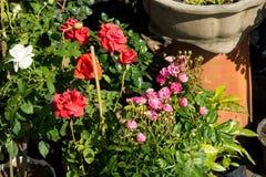 特写镜头五颜六色的玫瑰在树,甜爱概念,拉丁文的概念,宏观图象开花 免版税库存照片