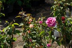 特写镜头五颜六色的玫瑰在树,甜爱概念,拉丁文的概念,宏观图象开花 免版税库存图片