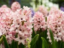 特写镜头五颜六色的花Hyacinthus Orientalis 免版税库存照片