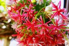 特写镜头仰光爬行物五颜六色的花 免版税图库摄影