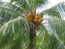 特写镜头可可椰子结构树 库存图片