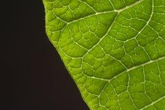 特写镜头叶子一品红 图库摄影