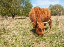 特写镜头吃草高地冬天的外套母牛 库存图片