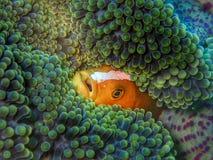 特写镜头和双锯鱼clarkii宏观射击,共同地已知当克拉克的anemonefish和鲱的clownfish在休闲下潜i期间 免版税库存照片