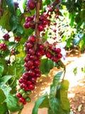 特写镜头咖啡树在咖啡农厂村庄收获议院里 旅行 库存图片