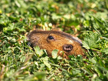 特写镜头土拨鼠照片 图库摄影
