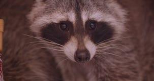 特写镜头在动物园笼子的俏丽的蓬松浣熊殷勤地和镇静地观看在周围的被射击  影视素材