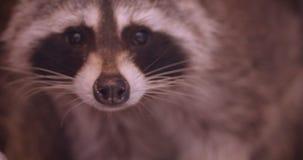 特写镜头在动物园笼子的可爱的蓬松浣熊观看殷勤地在周围的被射击  影视素材