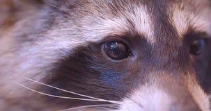 特写镜头在动物园笼子的逗人喜爱的蓬松浣熊镇静地观看在周围的被射击  股票视频