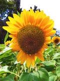 特写镜头在向日葵领域的一只蜂 库存照片