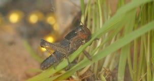 特写镜头在外形的蚂蚱吃白色背景的被射击绿色植物 影视素材
