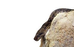 特写镜头在岩石的大蟒蛇在白色背景, Clippin 图库摄影