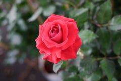 特写镜头在树的红色玫瑰 库存照片