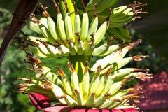 特写镜头在树的bnana束 库存图片