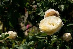特写镜头在树,纯净的爱概念,第一个爱概念,宏观图象的白色玫瑰 库存照片