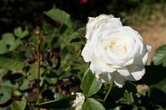 特写镜头在树,纯净的爱概念,第一个爱概念,宏观图象的白色玫瑰 免版税库存图片