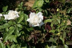 特写镜头在树,纯净的爱概念,第一个爱概念,宏观图象的白色玫瑰 免版税图库摄影